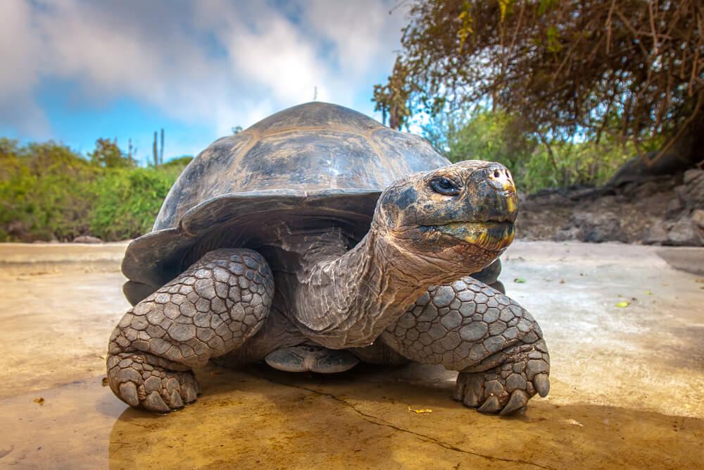 Pronađena je Fernandina, kornjača koja vraća nadu svojoj vrsti