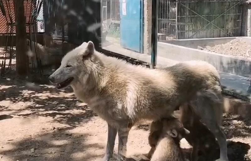 Predivan prizor – mama vučica doji svoje bebe u Beo Zoo Vrtu