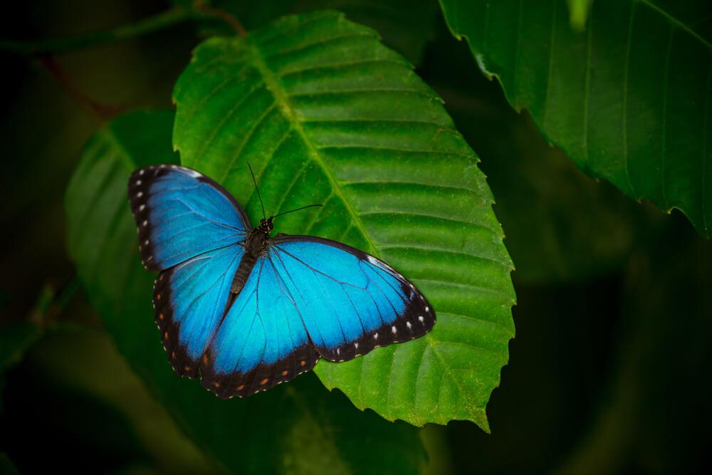 Duhovna simbolika – kada vidite plavog leptira, obavezno zamislite želju