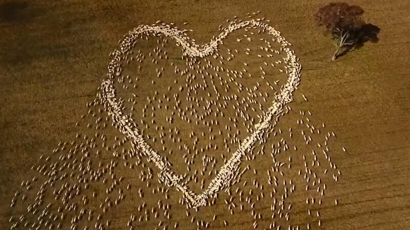 Sjajan omaž – Oprostio se od preminule tetke crtanjem srca pomoću ovaca