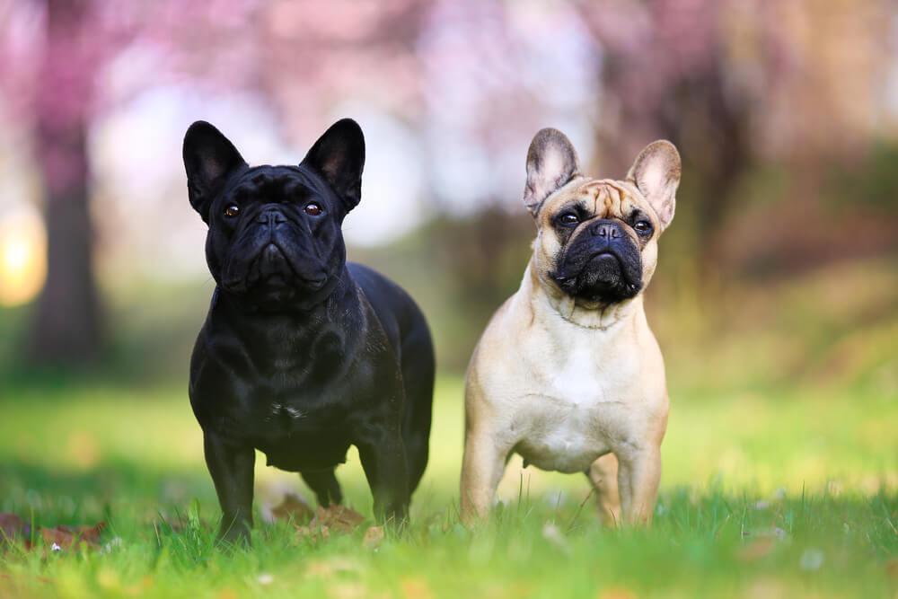 Ovo je rasa koja je najviše lenja – Ako nemate mnogo vremena, ovaj pas je savršen za vas