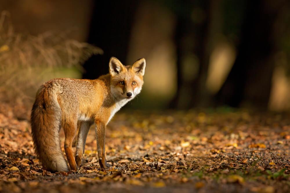 Došla da se druži, pozira i da se mazi – Lisica primećena u beogradskom naselju