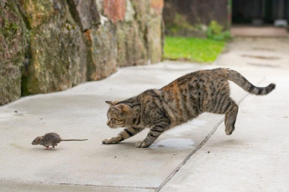 Prirodni instinkt – Znate li zašto mačke donose miševe vlasnicima?
