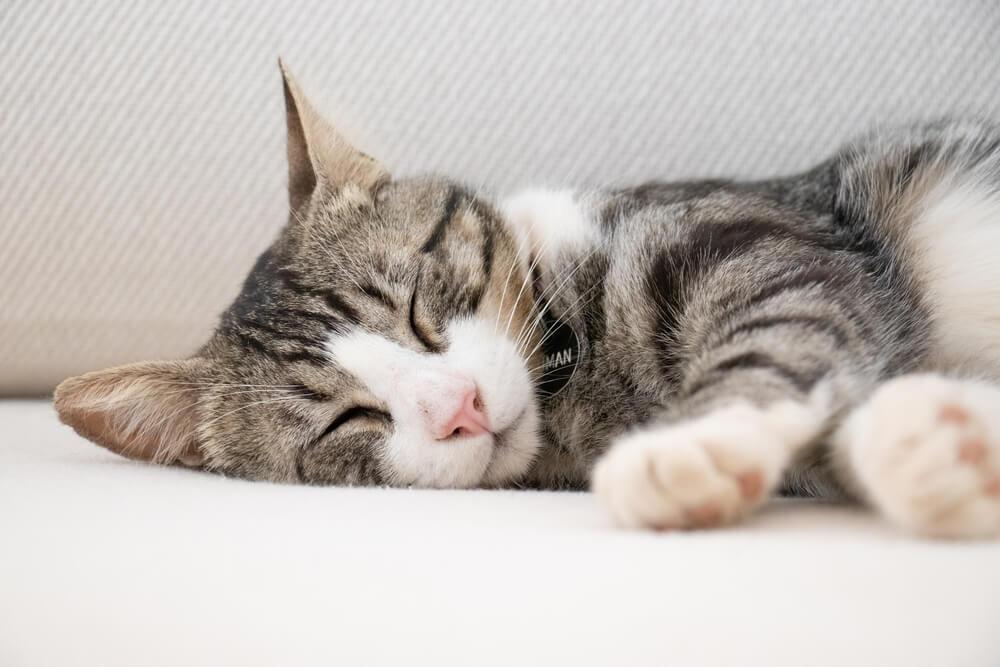 Nedavna istraživanja dokazala – I mačke mogu da sanjaju